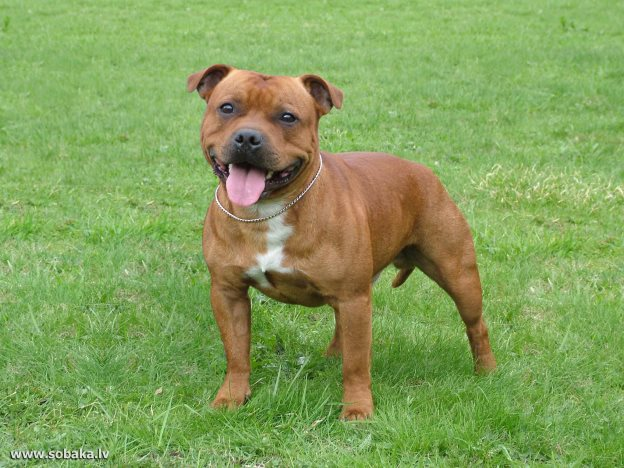 Staffie's name