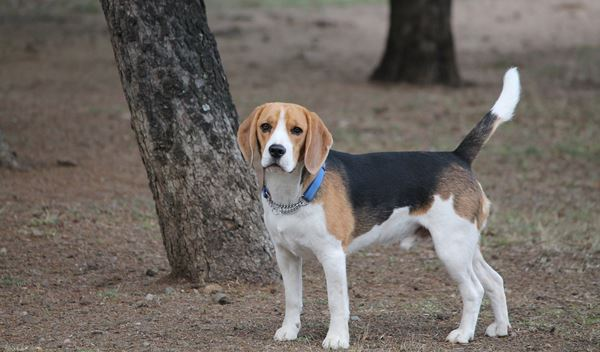 The Best Toys for Your Beagle