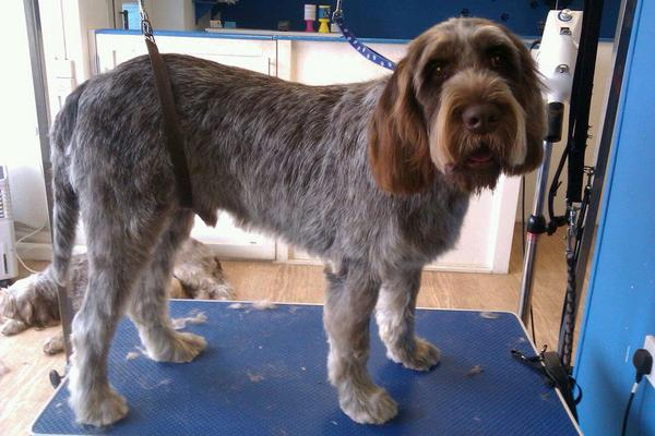 Dog Groomer in Wiltshire