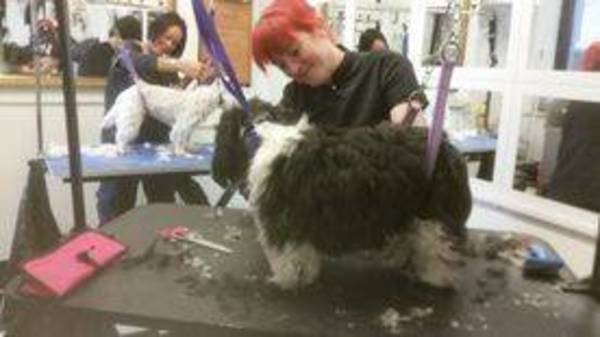 Dog Groomer training in Bargod (Bargoed)